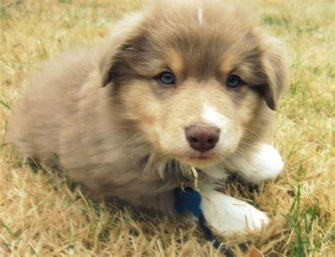 australian shepherd puppy cost miniature australian shepherd puppy pic jpg 1 comment hi res 720p hd