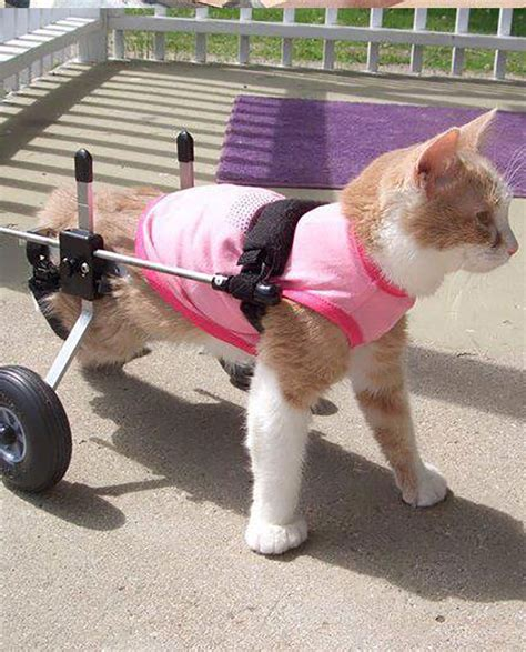 cat cat cat wheelchair by k9 carts the pet mobility experts