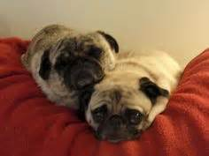 cuddle pugs pugs in costume others like my pug pug pugs in costume and in