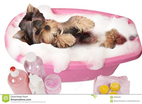 how to bathe yorkie puppy terrier bathing terrier grooming breeds picture