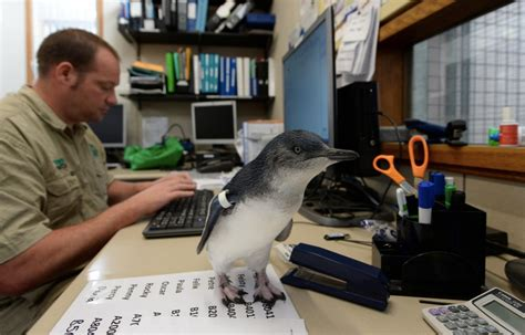 Office Zoo Melbourne Zoo Baby Penguin Joins The Team