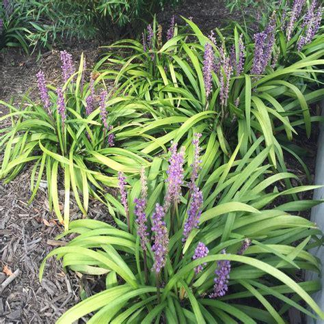 plant l home onlineplantcenter 1 gal royal purple liriope grass