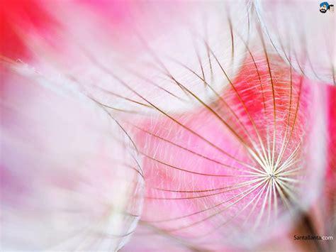 Qw Wallpaper Dandelion Pink free dandelion hd wallpaper 1