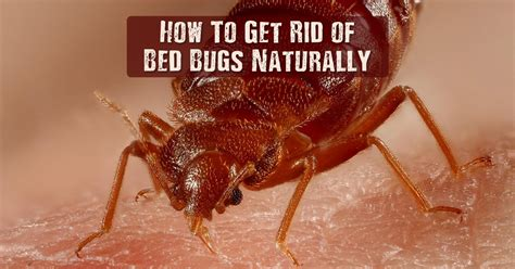 how to get rid of bed bugs naturally shtf prepping