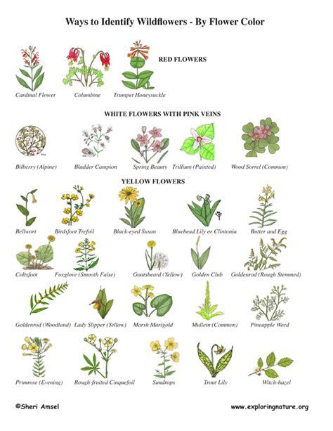 Garden Flowers Identification Wildflower Identification By Color Wildflower Id Book For Wildflowers