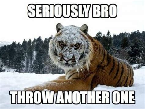 Tiger Memes - 25 very funny tiger pictures
