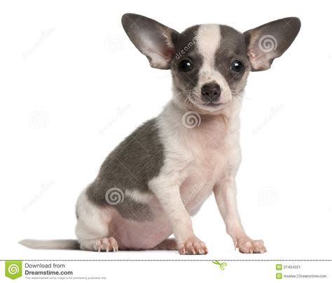 3 month puppy chihuahua puppy 3 months sitting stock image image 21404551