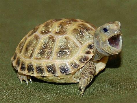 russian tortoises russian tortoise turtles tortoises pinterest