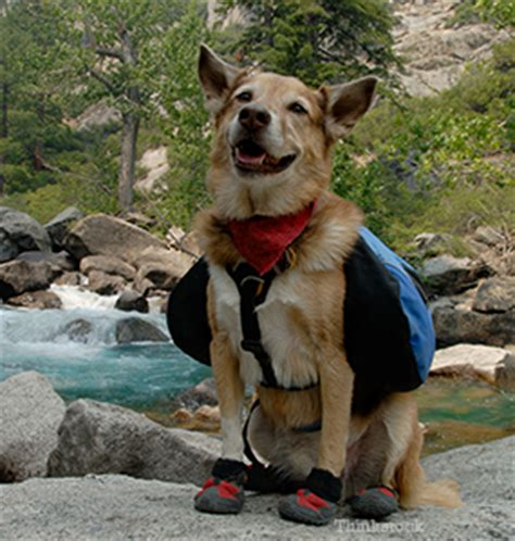 rocky mountain spotted fever in dogs rocky mountain spotted fever rmsf in dogs
