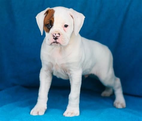 boxer puppies for sale in ri handsome boxer pups puppy4me