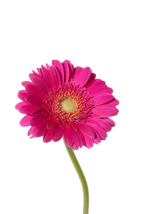 picture  daisies   clip art  clip