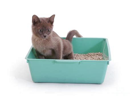 cat using bathroom outside litter box burmese kitten in litter box by jane burton