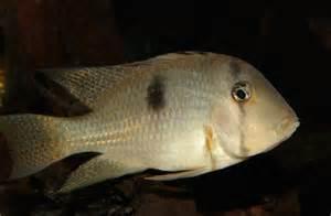 Photos of Guianacara geayi, Bandit cichlid