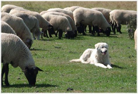 sheep guard dogs stoneybrook maremma sheepdogs the ultimate livestock guardian