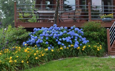 Hydrangea Macrophylla Endless Summer 4457 by Buy Endless Summer Hydrangea For Sale From Wilson