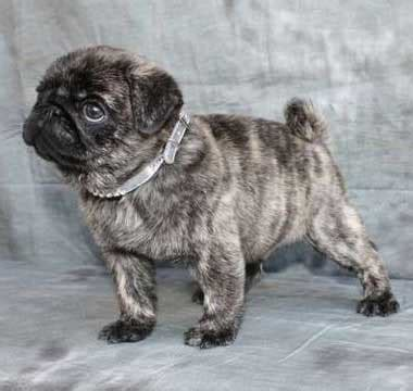 are brindle pugs uncovering the mystery of the brindle pug