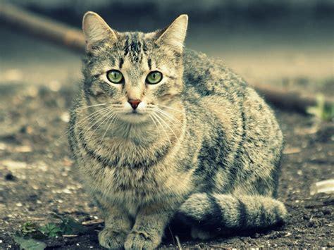 cat and gray cat wallpapers gray cat stock photos