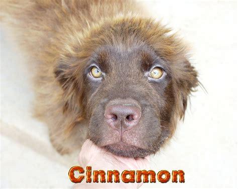 puppy rescue indiana newfoundland rescue indiana breed dogs spinningpetsyarn