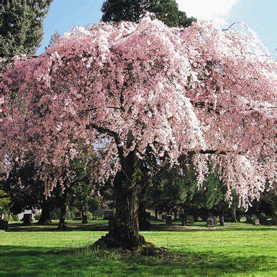cherry tree weeping weeping potted cherry direct gardening