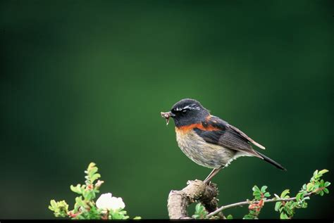 birding in taiwan collared bush robin
