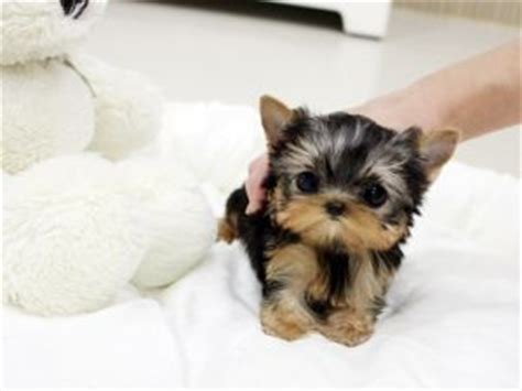 yorkie choking amazing adorable micro teacup yorkie available all things baby