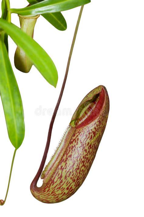anatomia fiore intrappoli il fiore anatomia della pianta immagine stock