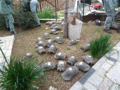 tartarughe in giardino quarantadue tartarughe protette nel giardino di casa non