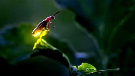 firefly light   butt  attract  partner