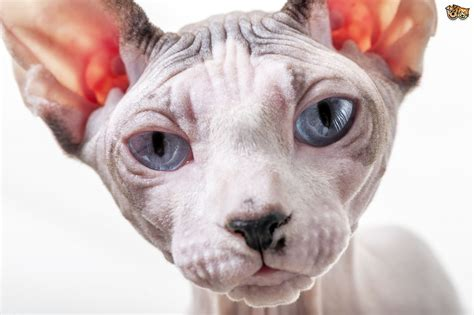 How to Make Sure a Sphinx Cat?s Skin Stays Healthy