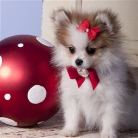 pomeranian for sale ayosdito puppies for sale ayosdito breeds picture