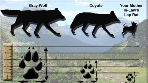 the domestication how wolves and humans coevolved books differentiating canine tracks from domestic canines