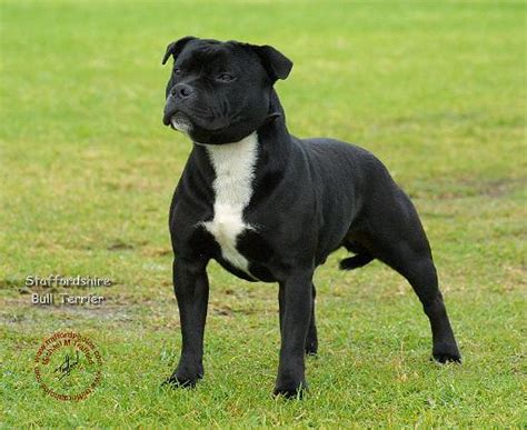 Staffy Shedding by In Dogs Breeds Picture