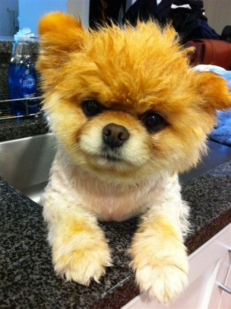 pomeranian puppy boo cool animals pictures meet boo the cutest pomeranian