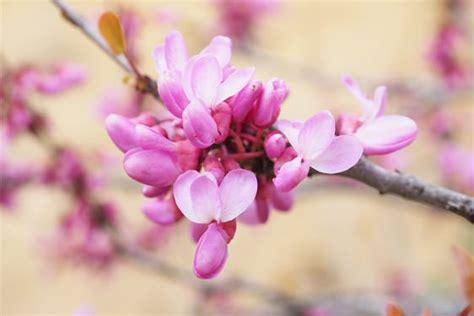 fiori albero di giuda come coltivare i fiori dell albero di giuda nel tuo giardino