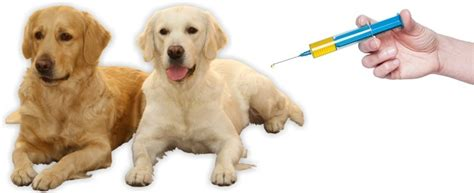 my golden retriever ate chocolate tramadol for dogs how does it work toxicity risk 2017 study