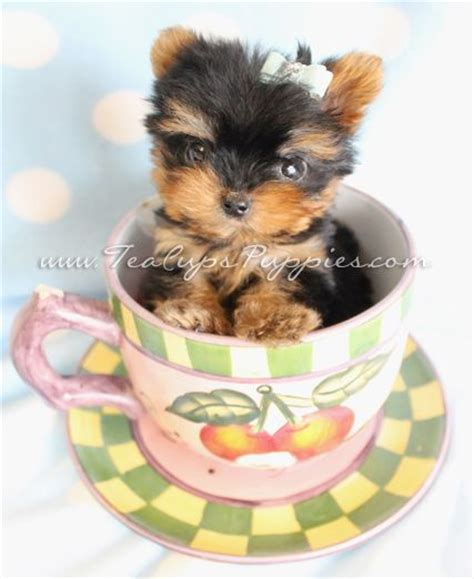 teacup yorkie puppies for sale nz the 25 best micro teacup yorkie ideas on micro yorkies teacup