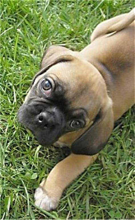 beagle pug mix grown puggle breed pictures 3