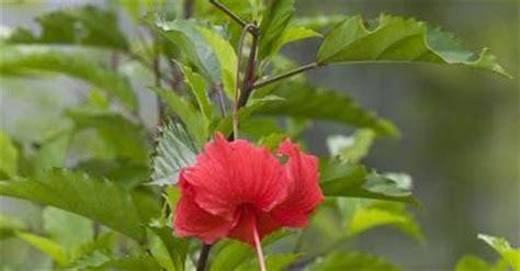 Sepatu Bunga Putih kembang sepatu hibiscus rosa sinensis eny prasetyo