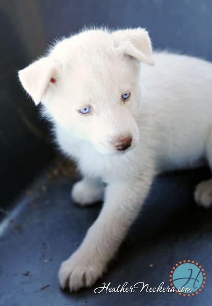 all white husky puppies 1000 images about white husky dogs on i want and huskies puppies