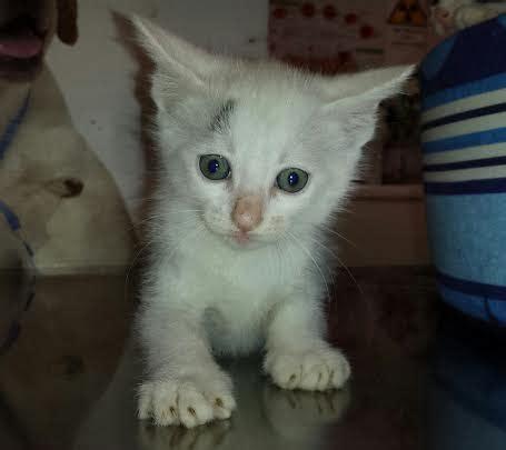 gatti persiani da adottare siena gattini bianchi da adottare animaliadozionetoscana