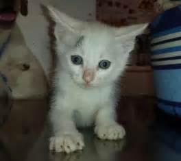 gatti persiani bianchi siena gattini bianchi da adottare animaliadozionetoscana