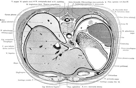 sections of liver cross section of the trunk through the liver and stomach