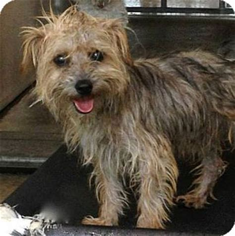 6 lb yorkie yorkie cairn terrier mix 6 lb yorkie cairn terrier mix breeds picture