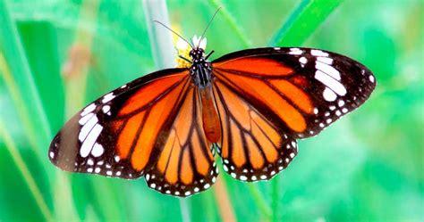 tigre y mariposa imagenes mariposa tigre caracter 237 sticas ciclo de vida y habitat