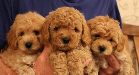 golden doodle dandy indiana dandy s doodles miniature goldendoodles