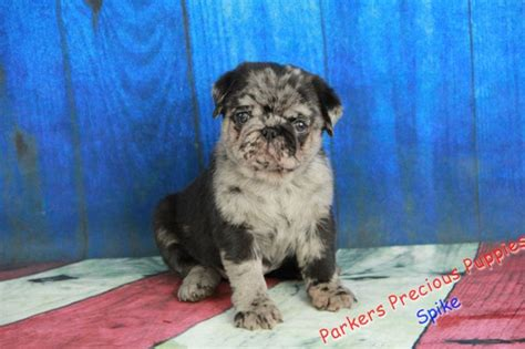 parkers precious puppies spike quot the boy pug quot s precious puppies