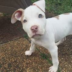 bull terrier puppies for sale in florida view ad american pit bull terrier staffordshire bull terrier mix puppy for sale