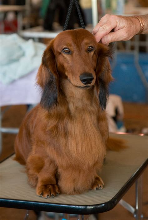 Haired Dachshund Shedding by Standard Longhaired Dachshunds Breeds Picture