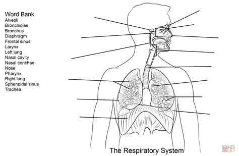 Respiratory System Worksheet Coloring Page Free Respiratory System Coloring Page