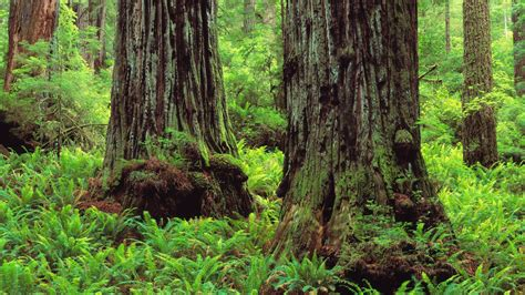 redwood wallpapers images  pictures backgrounds